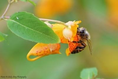 Jewelweed with Honeybee