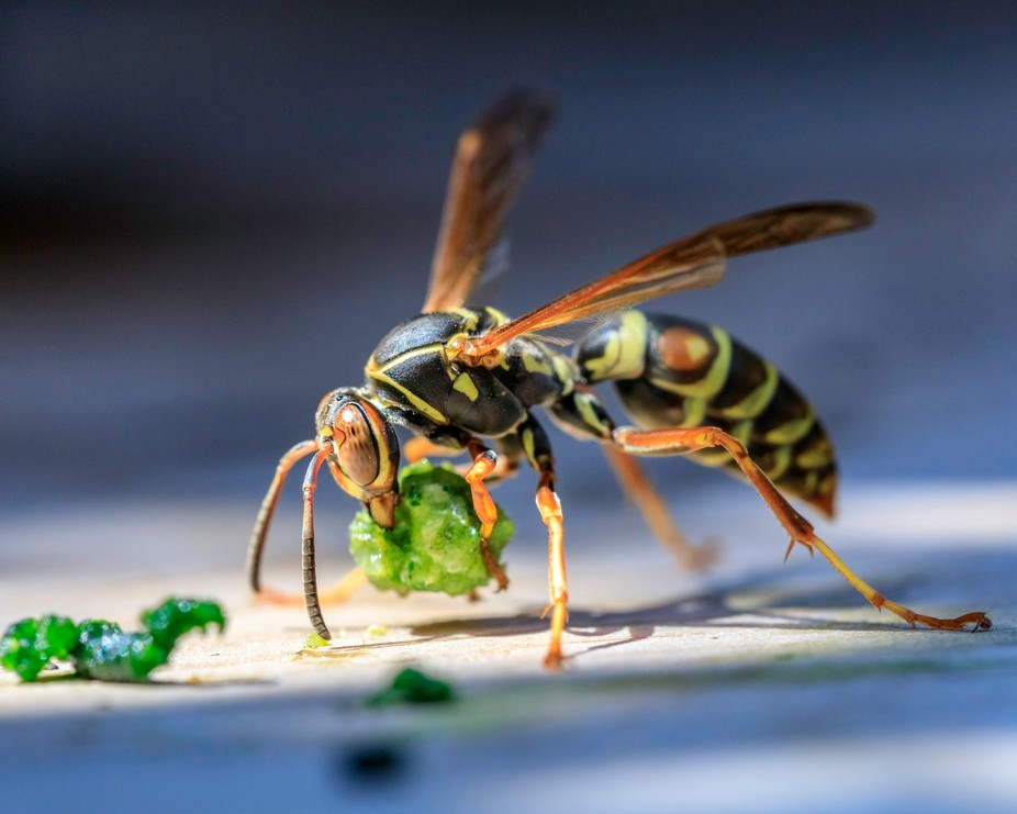I saw this wasp in my garden and ran back to the house to get my camera.  Luckily it was still th...