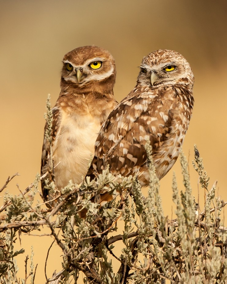 Suspicious! by Joecf - Beautiful Owls Photo Contest