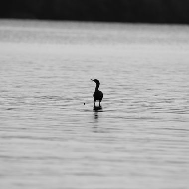 One Commorant sitting on a rock in the middle of the Lake