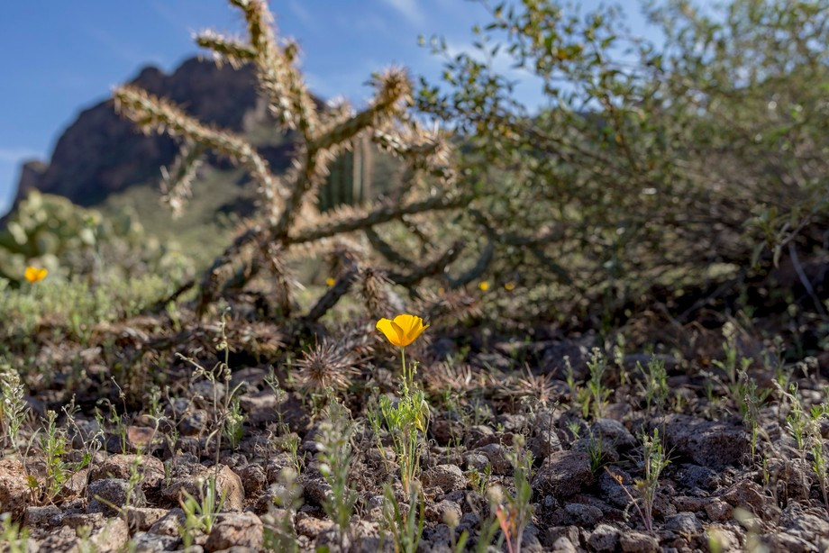 a single flower and a cholla cactus in the spring