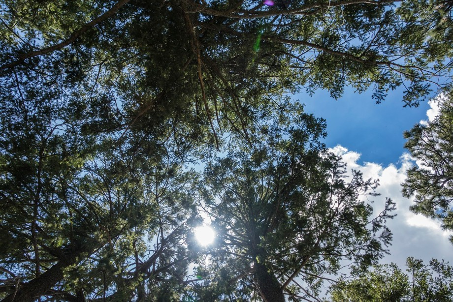a beautiful day on the mountain top as looking up through the pines.