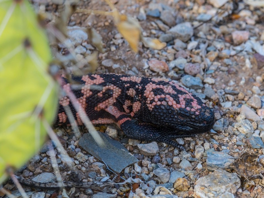 Gila monster, famous but somewhat rare desert dweller comes out to mate in the spring.