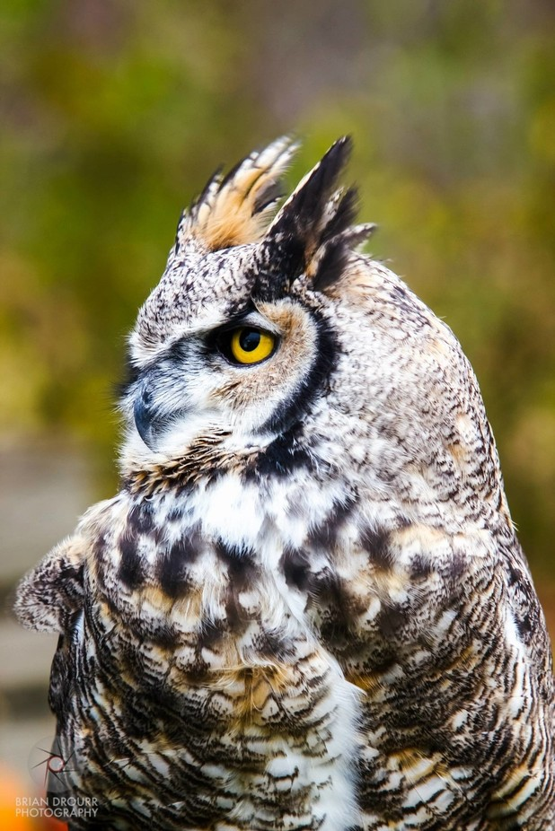 Eastern Great Horned Owl by briandrourr - Beautiful Owls Photo Contest