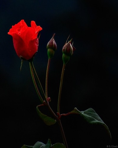 Red Rose & Buds....