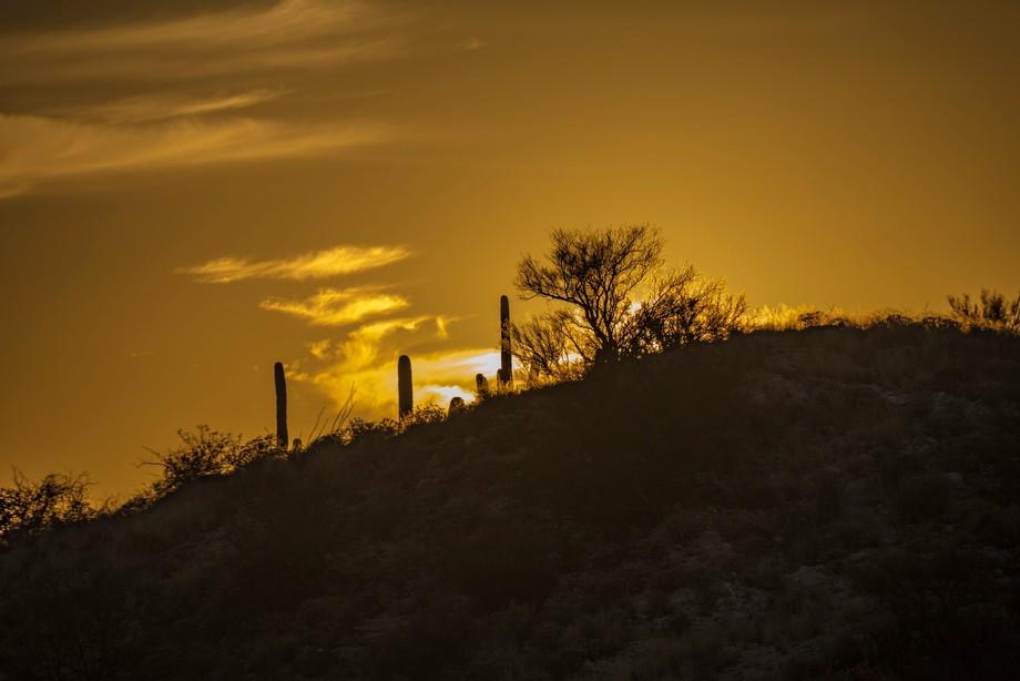 saguaro silhouettes at sunset