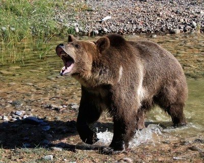 EXCITED GRIZZLY CROSSING STREAM