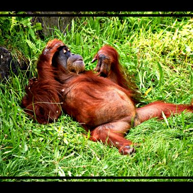 An Orangutang either fully chilled or extremely bored LOL.