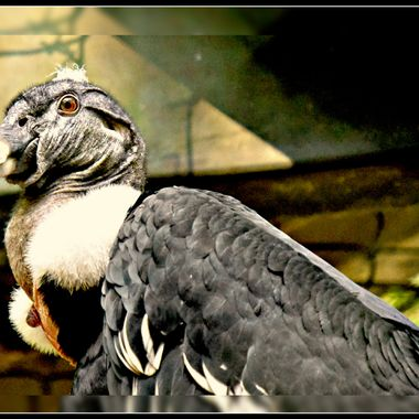 A vulture waiting for food in it's enclosure.