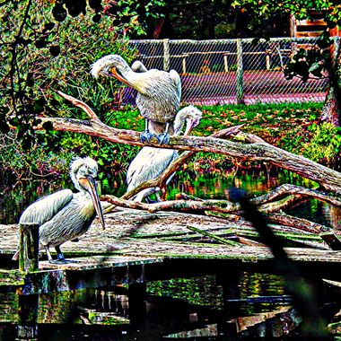 Pelicans preening on their decking.