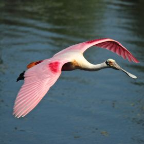 Roseate Spoonville in Flight