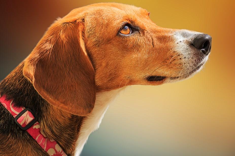 Beautiful Beagle portrait