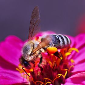 Bee Pollinates the flower