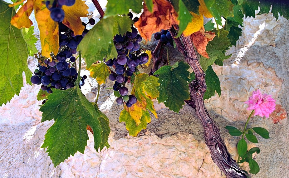 Under the grapevines.