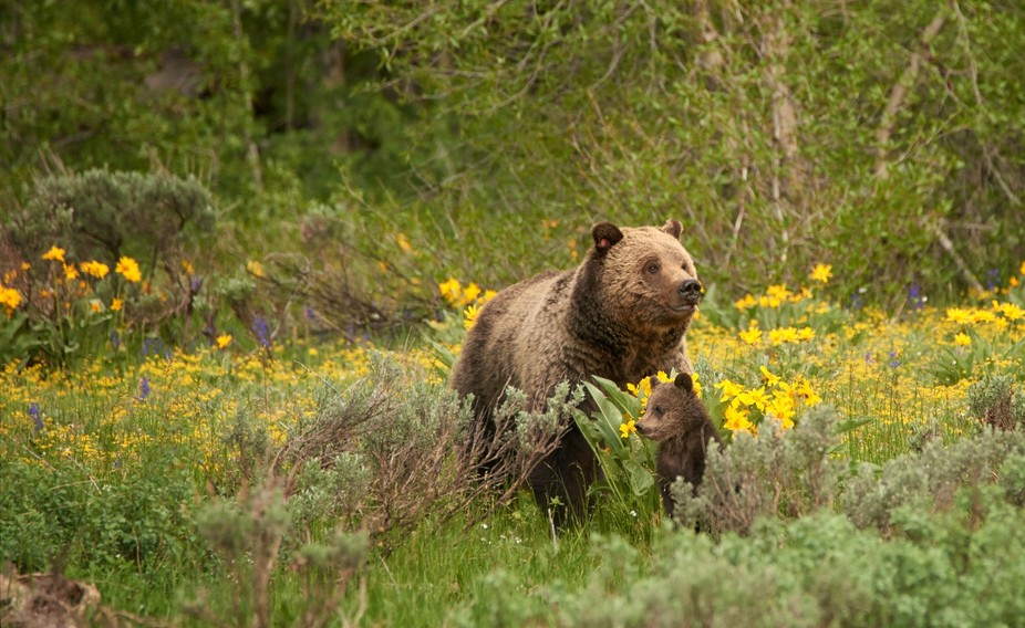 A wild grizzly bear and its cubs roaming north of the rockies