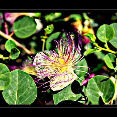 Lovely mountain flower from Samos, Greece.