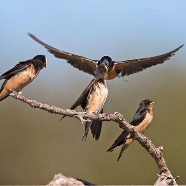 Barn Swallows feeding IMG_0064