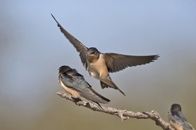 Barn Swallow IMG_0011