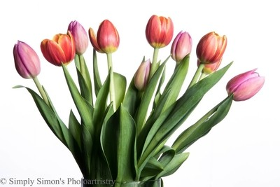 Tulips High key