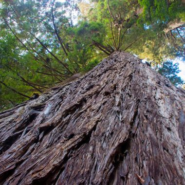 Deep in the redwood forest of northern California is Redwood National Park. Here you will find some of the oldest and largest trees in the world. I've been in love with them since I was a kid. Now that I live in Europe with no plans to returning stateside I wanted to keep the magic of these trees with me.