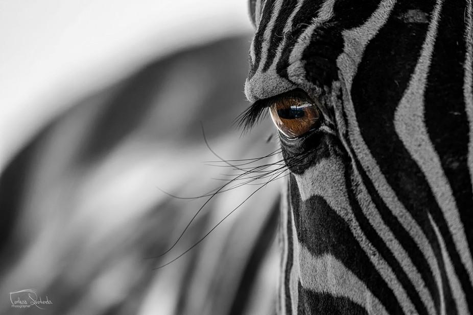 The Chapman's zebra (Equus quagga chapmani)