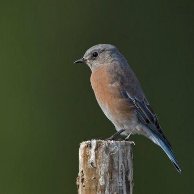 Western Bluebird - female IMG_0135