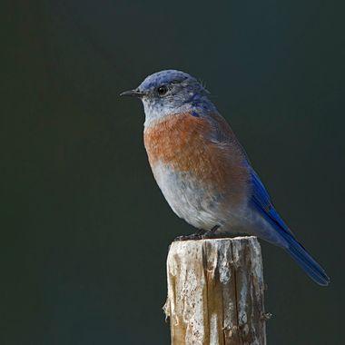 Male Western Bluebird IMG_0144