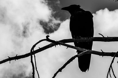 Odins Raven