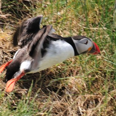 A puffin makes a quick exit from its burrow so as not to attract attention of the predating birds