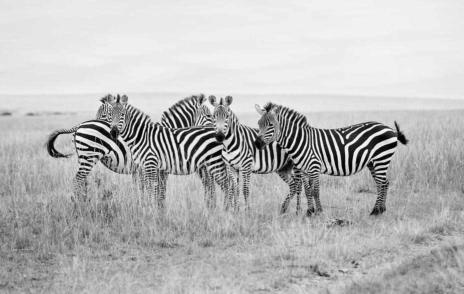 Wild Zebra on Kenya Safari