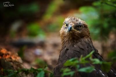 The lesser spotted eagle (Clanga pomarina)