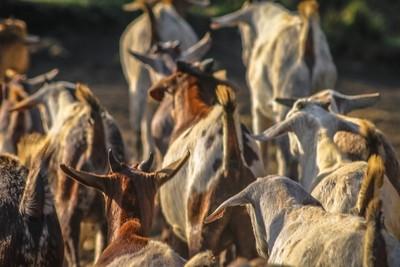 Heard of a Herd