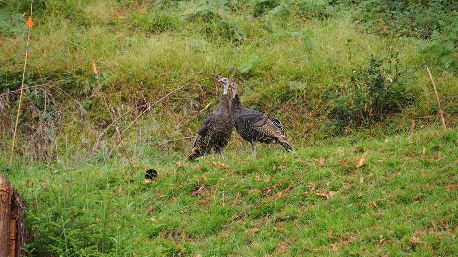 Out on a walk and saw turkeys.