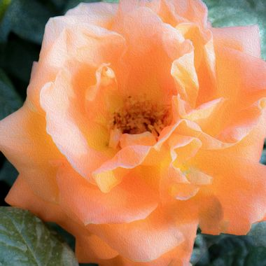Peach rose blooming in our city of Lucca Italy.