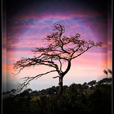 A lone tree Island Samos.