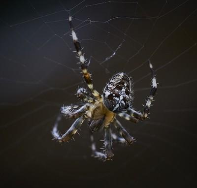 Garden spider 3