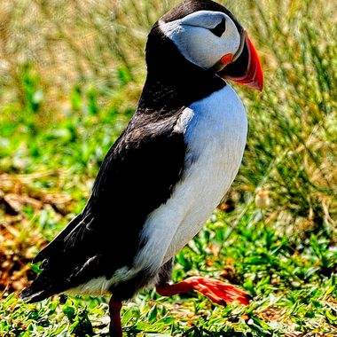 An Adult Puffin puts on a performance.