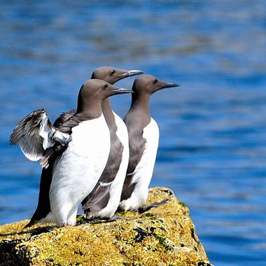 Adolescent Guillemots hesitating before taking the plunge