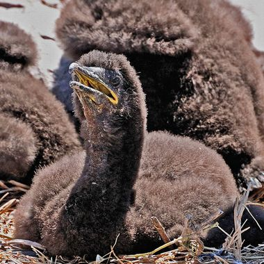 a baby cormorant pleading for food,not yet able to leave the nest