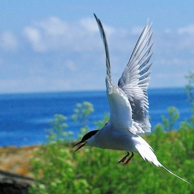The arctic Tern is a vicious defender of its young,often drawing blood when its beak targets a head !!