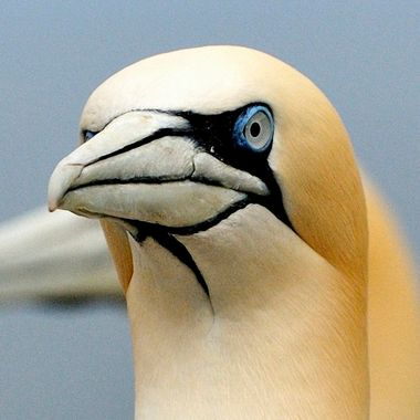 a close up of a Northern Gannet