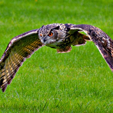 Owl in low fly hunting mode.