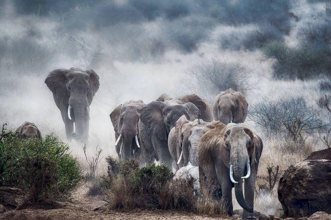 Elephants of Amboseli by sherinann - Dusty Photo Contest