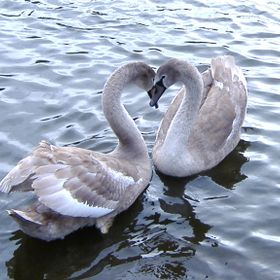 Pair of loving swans.