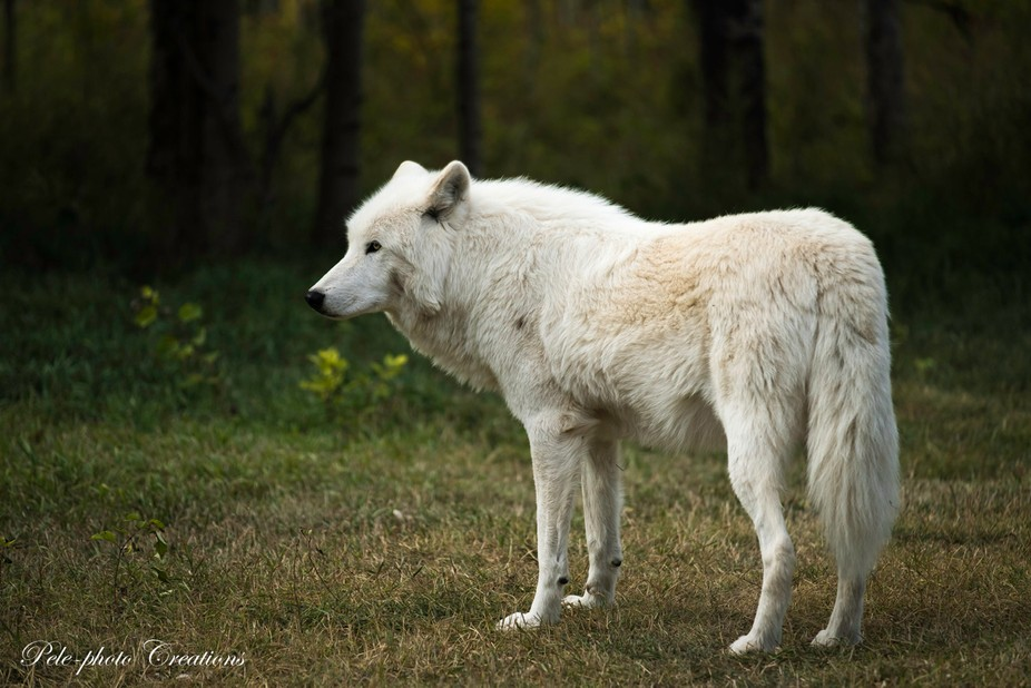 Lone White Wolf