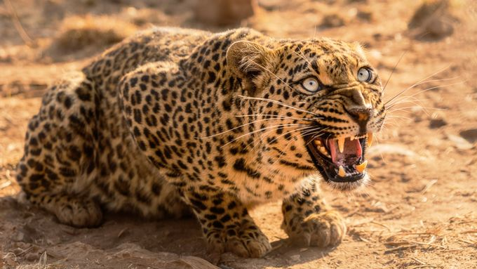 Ready to pounce by clifffawcett - Explore Africa Photo Contest