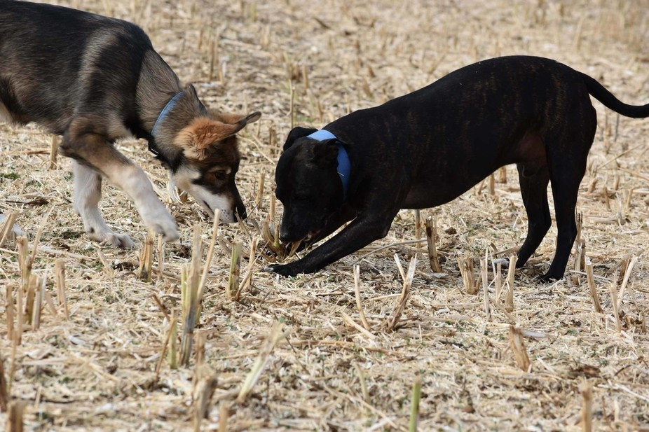 I took this photograph of my Staffordshire Bull Terrier and my Timber Wolf Dog puppy pulling a pi...