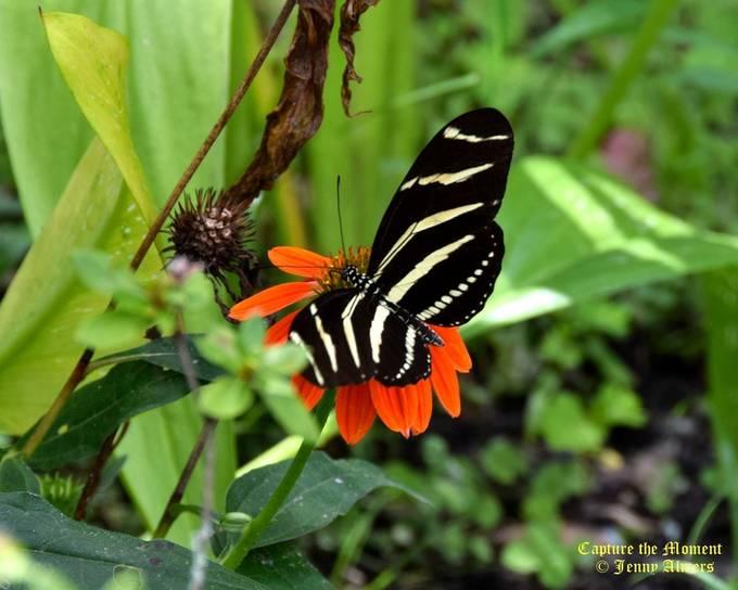 Butterfly Wings on Coneflower