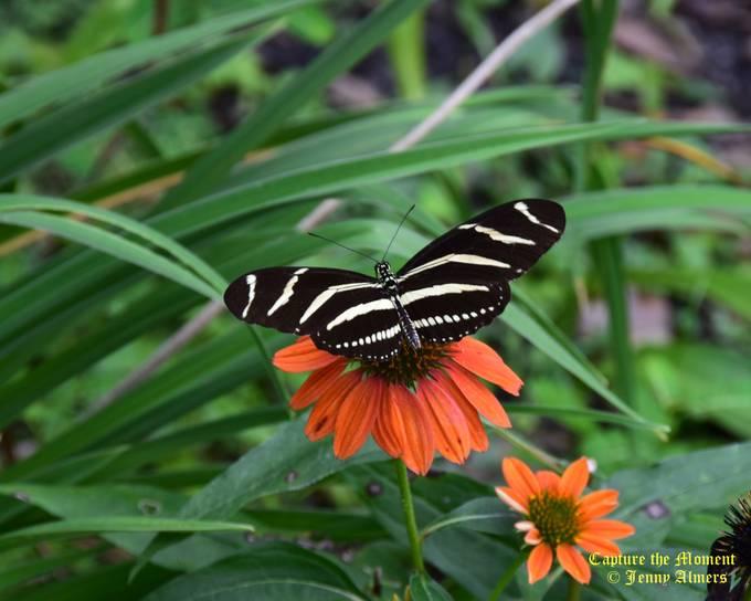 Butterfly Wings Spread Over Coneflower