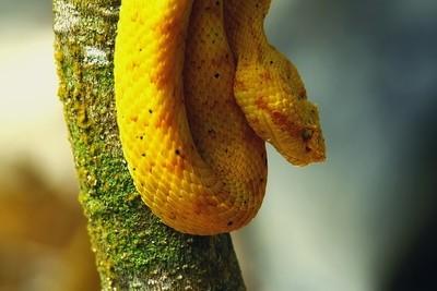 Eyelash pit viper